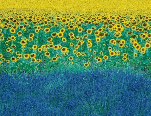 Clapp, David 아티스트의 Sunflowers in Provence-France 작품