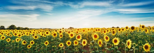 Krahmer, Frank 아티스트의 Sunflower field, Plateau Valensole, Provence, France 작품